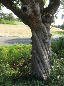 Drehwuchs eines Baumes